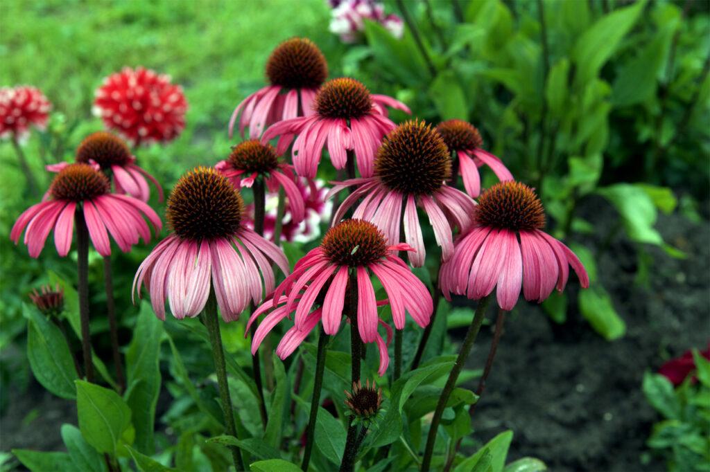 Echinacea purpurea paradiso